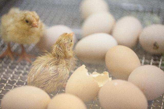 ひよ子 卵 出産