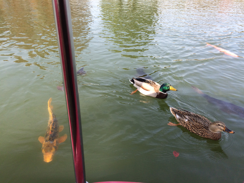 柏の葉公園 鴨 鯉