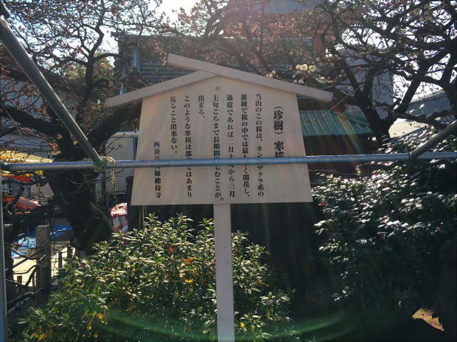 西新井大師 桜